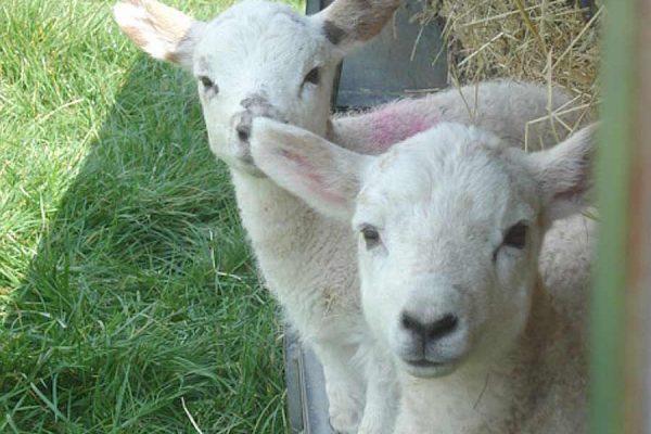 Blue Tin Farm lambs