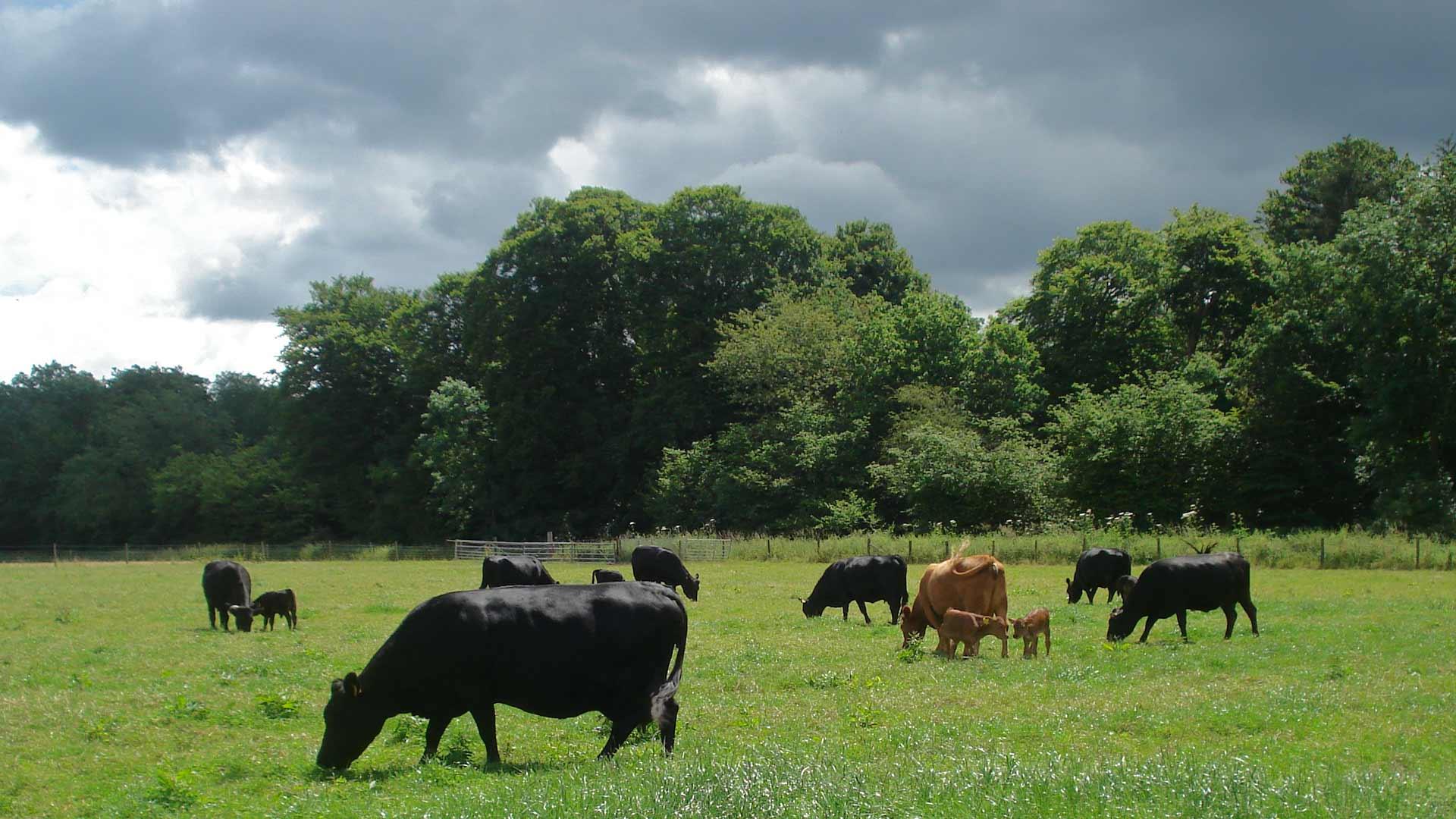 Free range, rare breed Dexter cattle