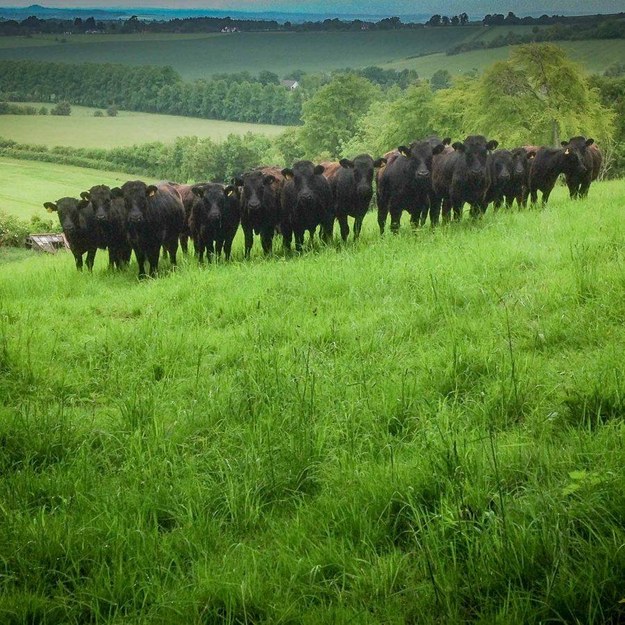 Rare breed Dexter beef at Blue Tin Produce farm